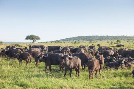 Herd of buffaloes in National Park Masai Mara, Kenya  免版税图像