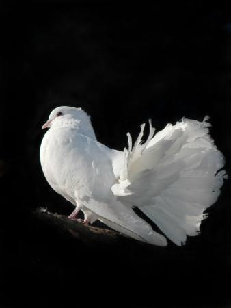 white dove in black background on a stone photo