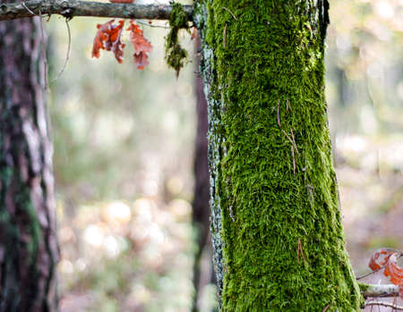 Green moss on an oak trunk. The forest is full of autumnal colors.
