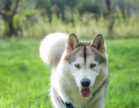 A wolf-like Alaskan Malamute female in a green field near the forest. She is coming towards the photographer. A beautiful fluffy dog is preparing it's coat for the winter.
