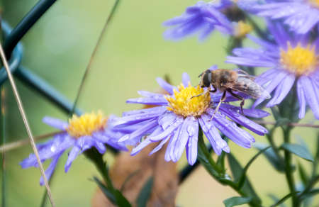 Colorful macro shot of Aster amellus and an insect. Selective focus on the flower, blurred background.