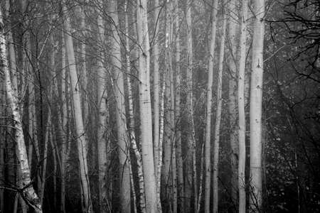 Black and white deciduous tree trunks in a grove. Chaotic layout of the branches that are already leafless and ready for the winter. Selective focus on the trunks, blurred background. Archivio Fotografico