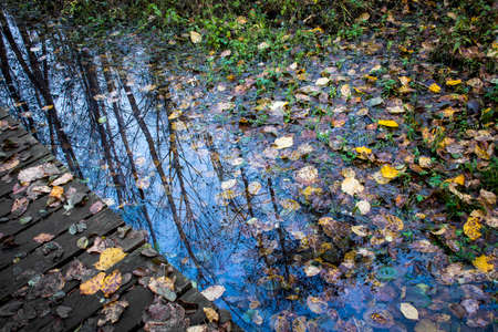 A small water puddle on the side of a wooden footpath. The puddle is full of fallen leaves, it perfectly reflects the blue sky of the morning and the silhouettes of the trees. Selective focus on trees