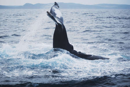 nfld: Humpback in St. Johns, Newfoundland