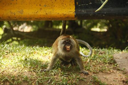 ser humano: Esta foto fue tomada en el 16 de septiembre 2015, donde me encontr� con un mono que tratando de protegerse de la comida dada por el ser humano. O lo tomas o lo dejas. La decisi�n es tuya Foto de archivo