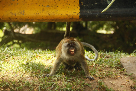 human being: This picture were taken on 16 September 2015 where i found a monkey who trying to protect itself from the food given by human being. Either you take it or leave it. The choice is yours Stock Photo