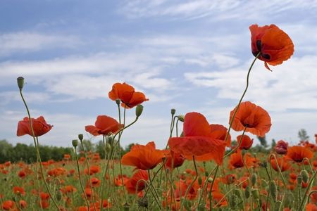 Red poppies field and the blue sky Stock Photo - 5278796