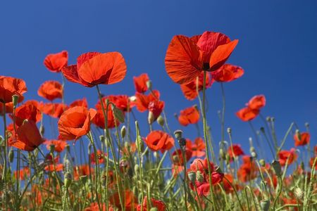 Red poppies field  and the blue sky Stock Photo - 5278805