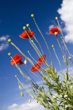 Red poppies and the blue sky Stock Photo - 5278795