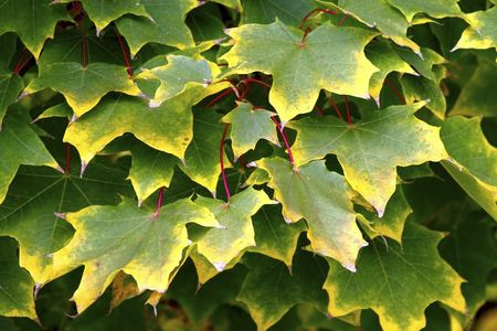 arboreal: Beautiful yellowing arboreal leaves Stock Photo