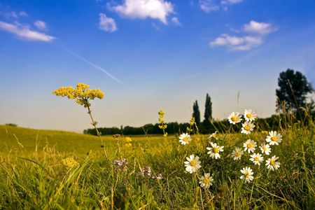 Chamomile flowers in the field, blue sky. Stock Photo - 5364197