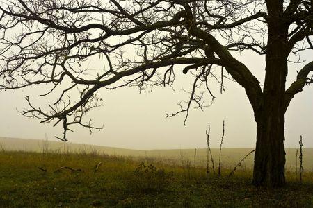 Foggy field single tree, in November.