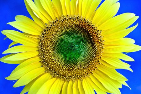 Sunflower flower, symbolic of African continent. photo