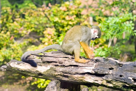Common Squirrel monkey climbs the fence. photo