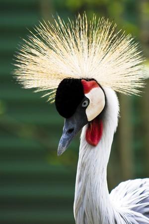 Crowned crane, a beautiful ornamental feathers. photo