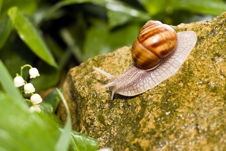 Snail crawling on the rocks. photo