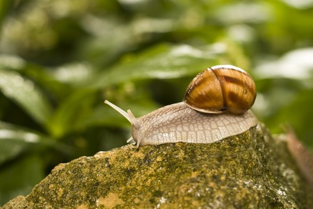 edible snail: Snail crawling on the rocks. Stock Photo