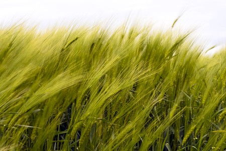 to sway: Wheat fields, ears sway in the wind