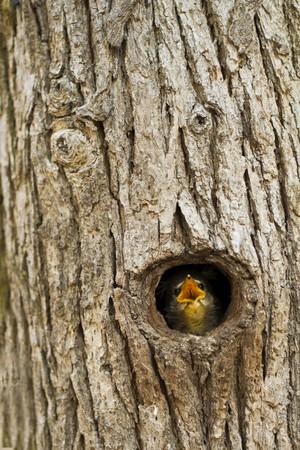 Common Blackbird nestlings, the beech tree hole.
