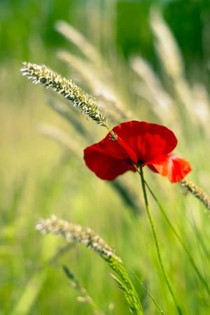 Poppy in the green field. photo