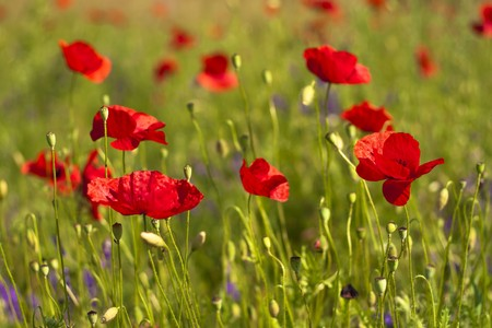 Poppies in a green wheat field. Stock Photo - 7162411