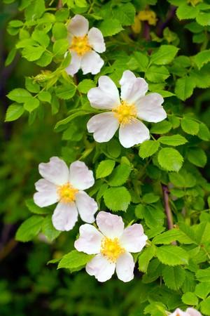 Rosehip flower, green background. Stock Photo - 7233589
