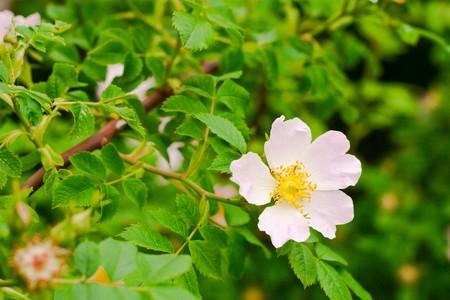 Rosehip flower, green background. Stock Photo - 7233588
