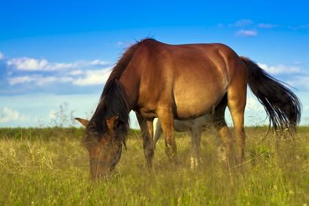 Horses graze in the open. photo