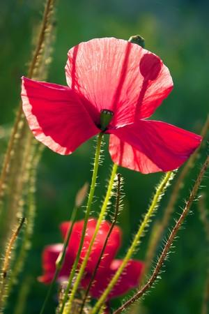 Beautiful poppy, green background. Stock Photo - 7320192