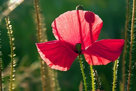 Beautiful poppy, green background. Stock Photo - 7318241