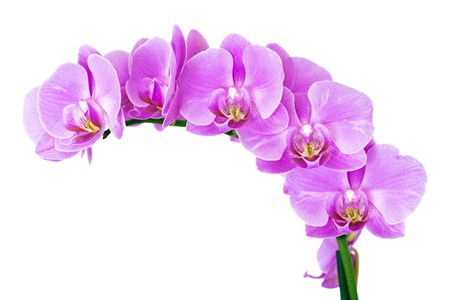 Beautiful pink Orchid, isolated on a white background. Stock Photo - 7562341