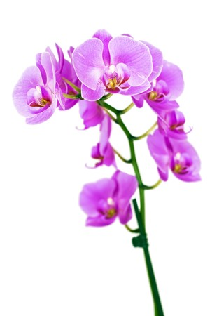 Beautiful pink Orchid, isolated on a white background. Stock Photo - 7562343