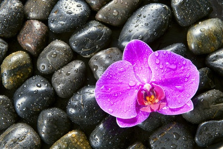Beautiful orchids, black stones, drops of water on it. photo