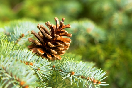 Leaves of the pine forest of trees. Stock Photo
