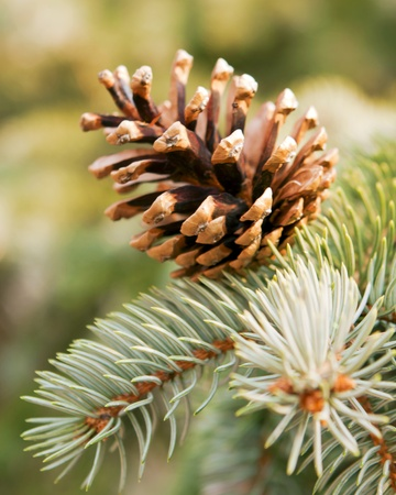 Pine cones, of its branches. photo
