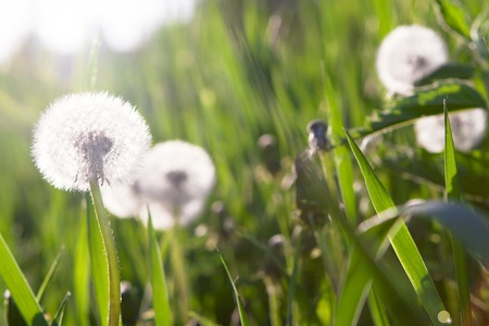 Dandelions in spring green grass.