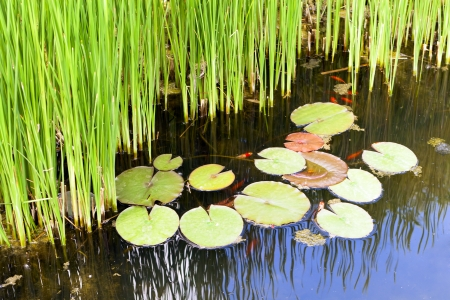 Wonderful pond with reed detail  photo