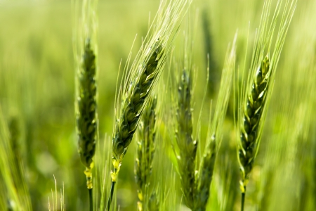 Green wheat in the field  photo