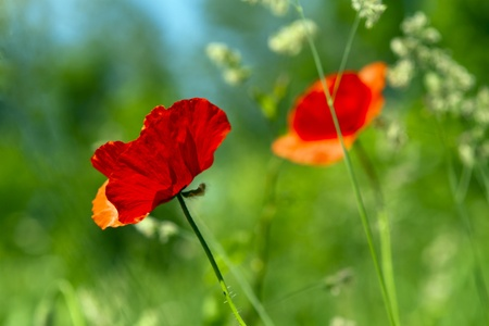 wild life: Poppies bloom in the green field