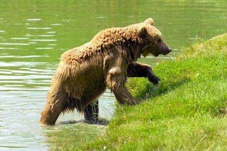 Brown bear taking a bath in the lake  Stock Photo