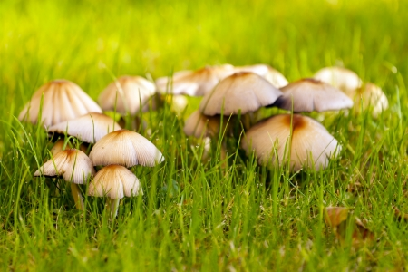 Mushrooms on green grass, side by side