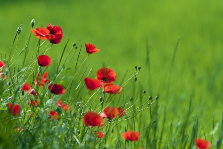 Flowering poppies in the field  photo