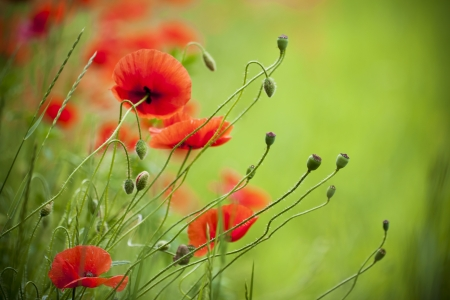 Flowering poppies in the field. photo