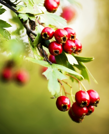 hawthorn hips in nature  photo