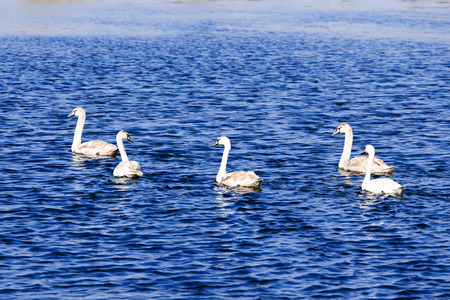 The blue waters of the lake with swans swimming  photo
