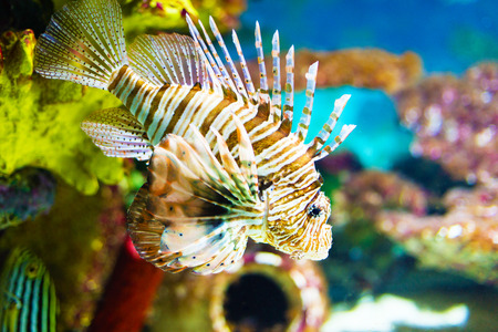 Sea lionfish around colorful coral  photo