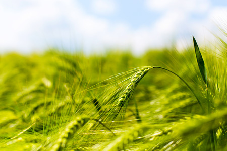 arable land: Wheat ears of the arable land.