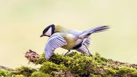 Titmouse spring wild out in nature. photo