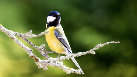 europeans: The great tit sitting on tree branch.