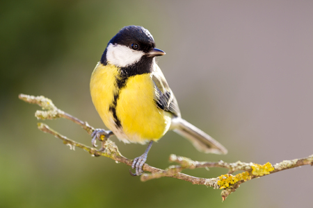 Great tit sitting on the tree branch. Stock Photo